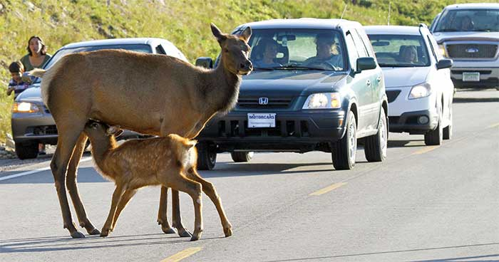 Wildlife Vehicle Collisions